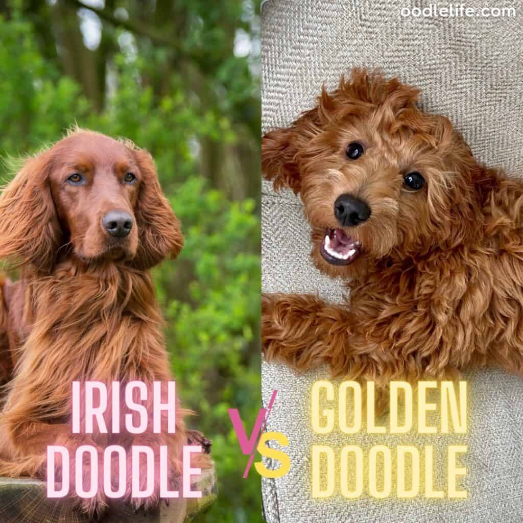 irish doodle vs golden doodle