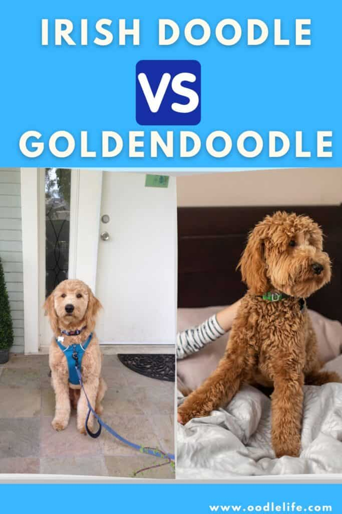 Irish Doodle vs Goldendoodle (Breed Comparison with Photos) 1
