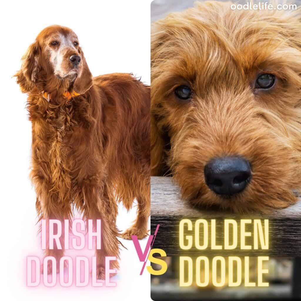 irish setter poodle origins