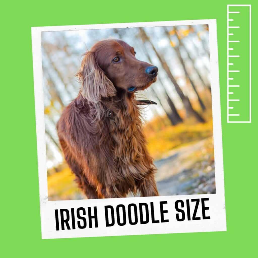 irish doodle cross size