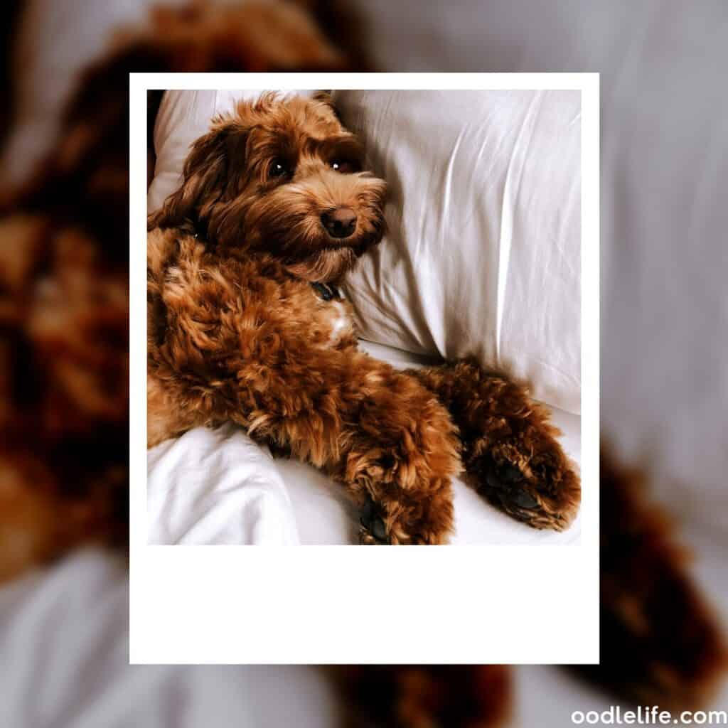 red labradoodle lazing in bed