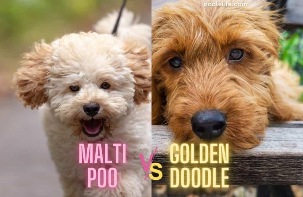 maltipoo vs goldendoodle shedding