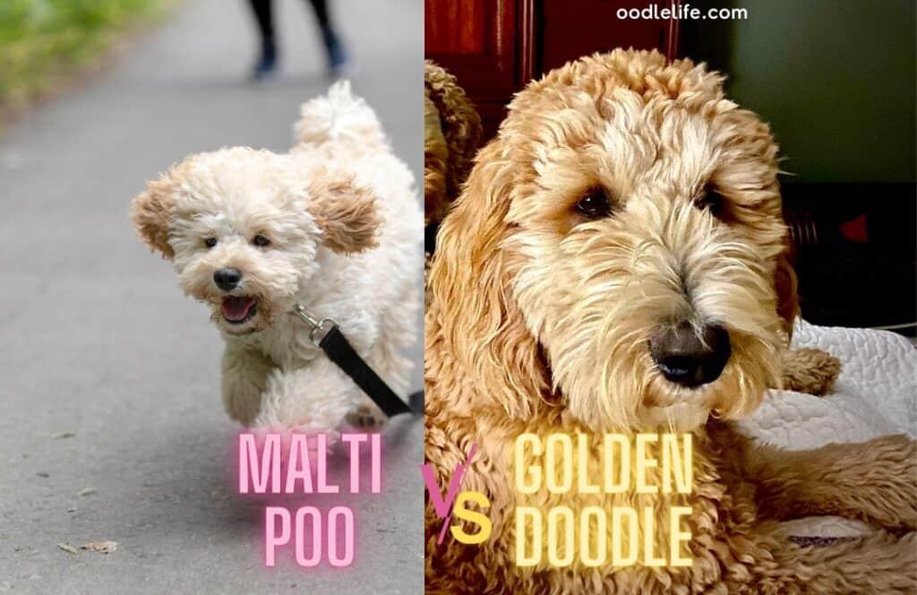maltipoo vs goldendoodle temperament