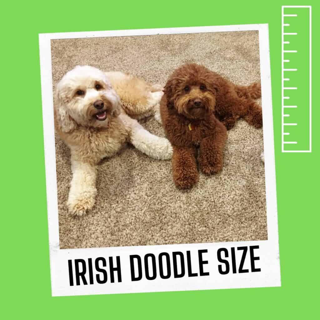 mini irish doodle size