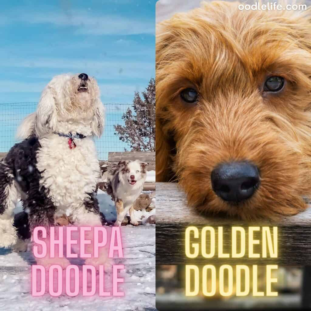 sheepadoodle puppy next to goldendoodle puppy