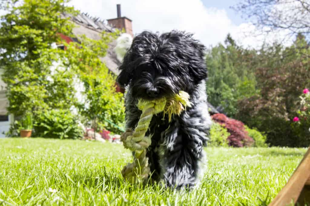 a puppy outdoors with a rope tug toy