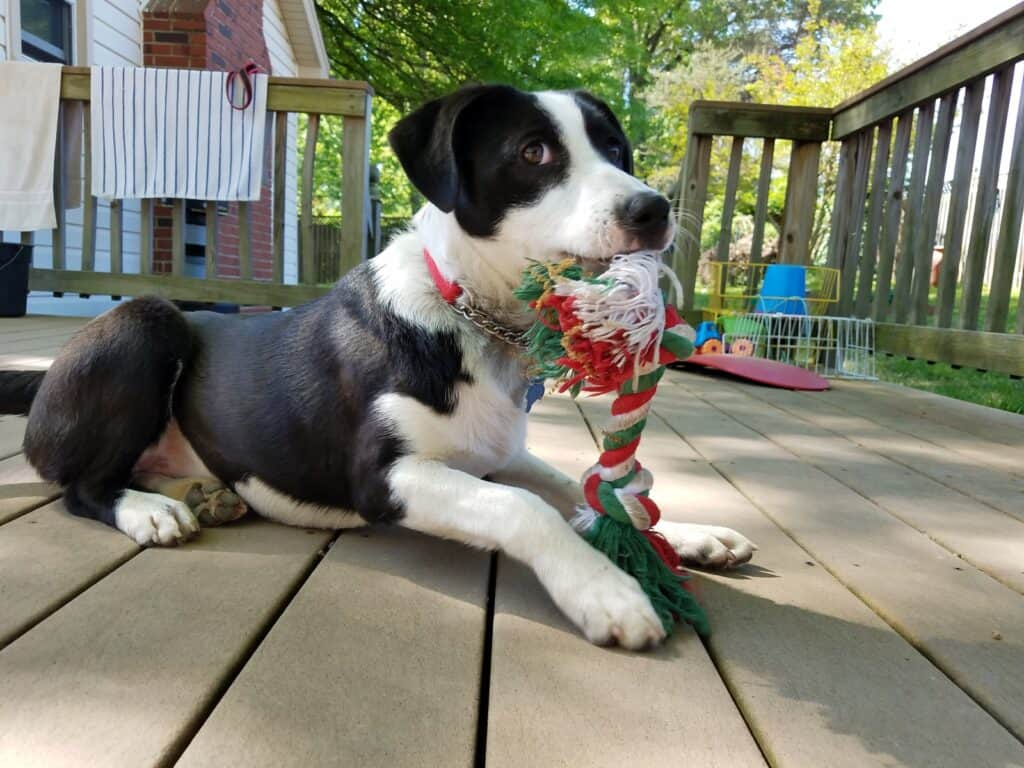 a puppy sitting on a deck with a tug toy