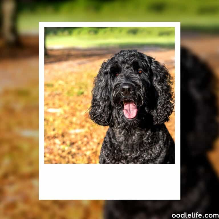 Do Labradoodles Bark A Lot? [+ How to Stop Labradoodle Barking]