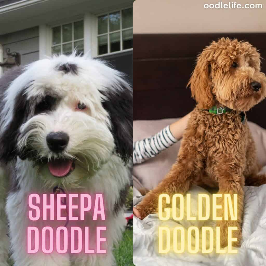 sheep doodle and golden doodle