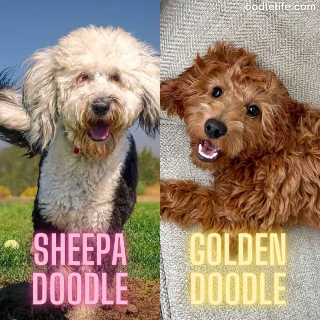sheepadoodle vs goldendoodle side by side comparison
