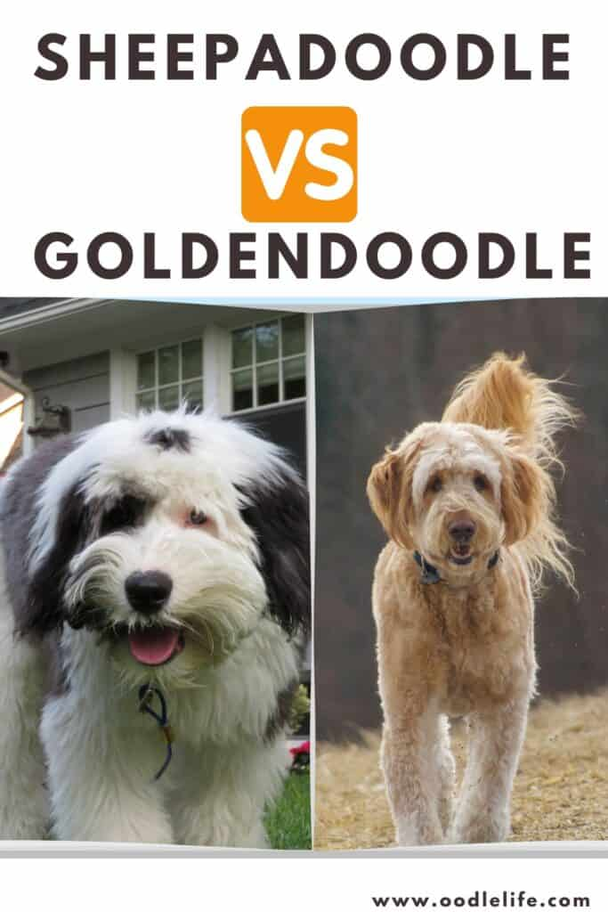 sheepadoodle vs goldendoodle side by side photo comparison
