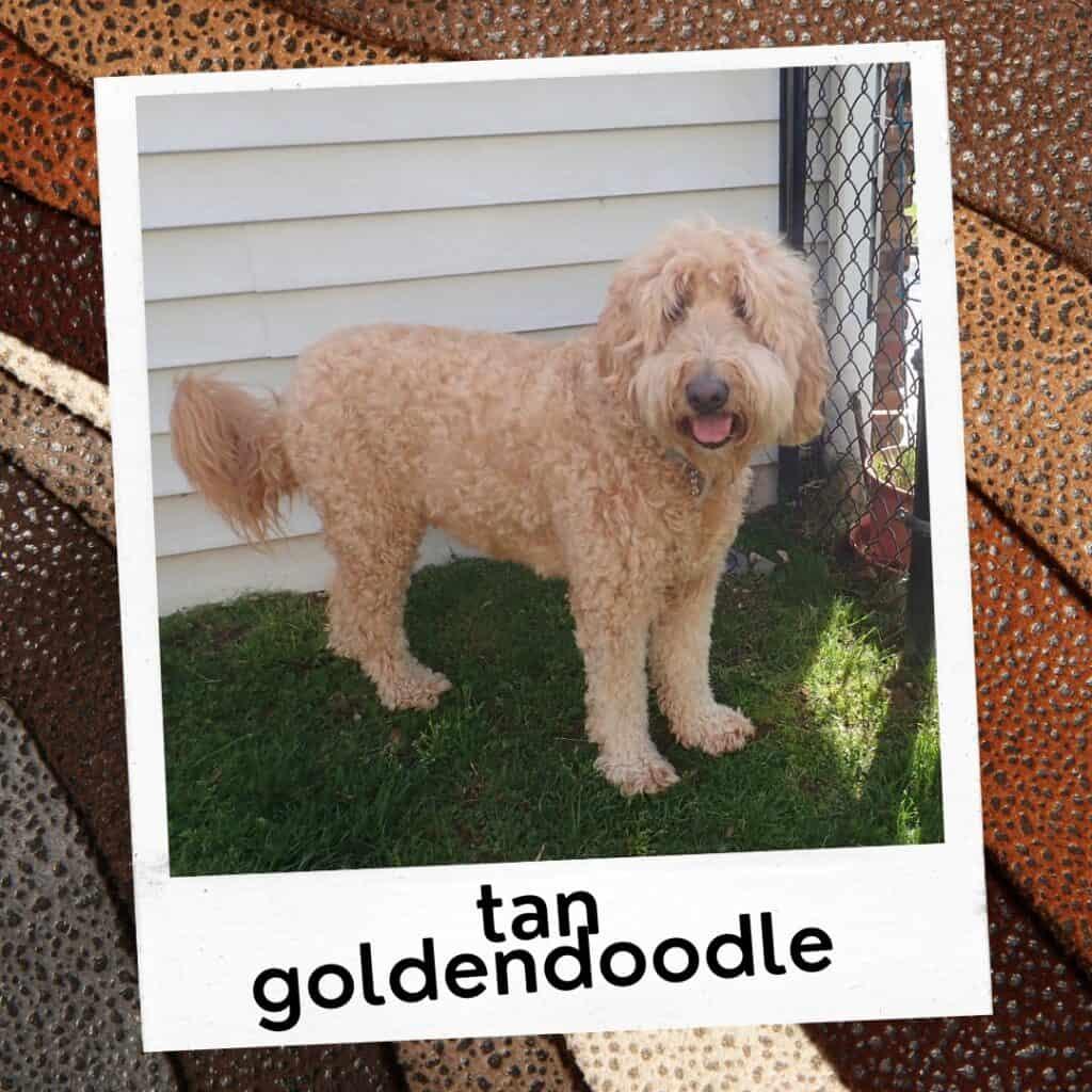tan goldendoodle dog