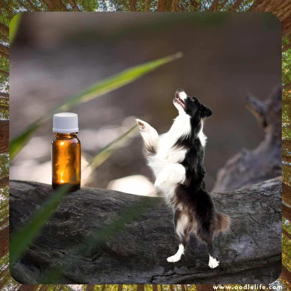 tea tree oil for dog cleaning is it safe