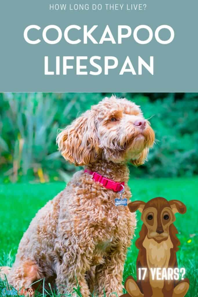 what is the cockapoo lifespan