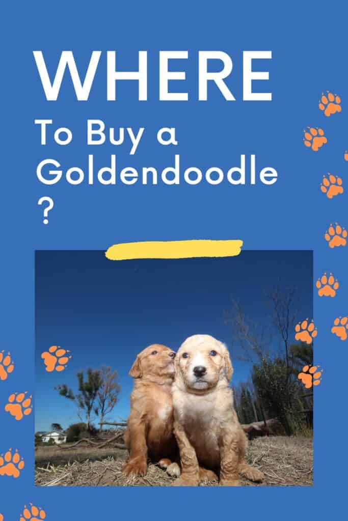 where to buy a goldendoodle two puppies next to each other