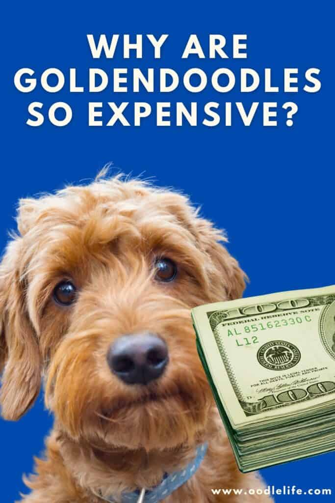 why are goldendoodles so expensive