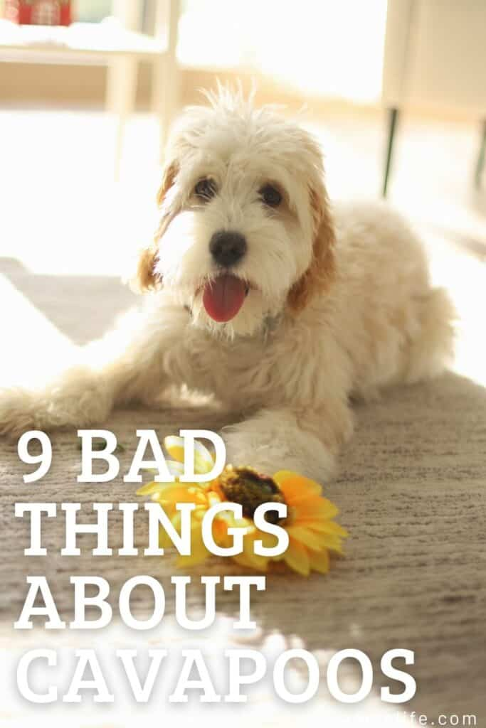 bad things about cavapoos