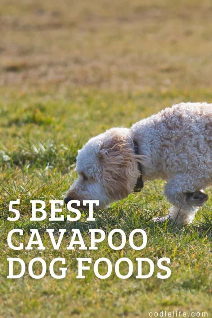 5 best cavapoo dog foods outside on grass