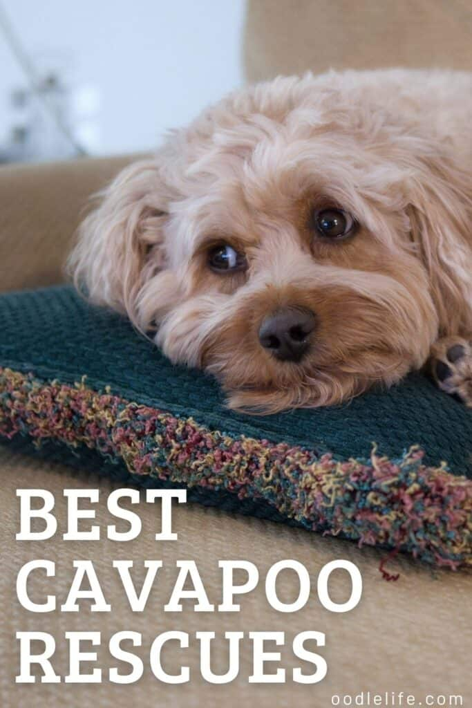 best cavapoo rescues