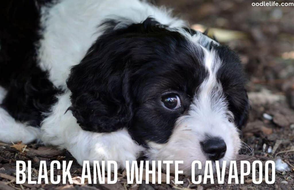 black and white cavapoo