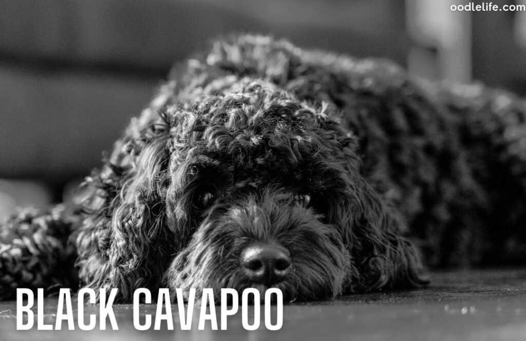 black cavapoo coat