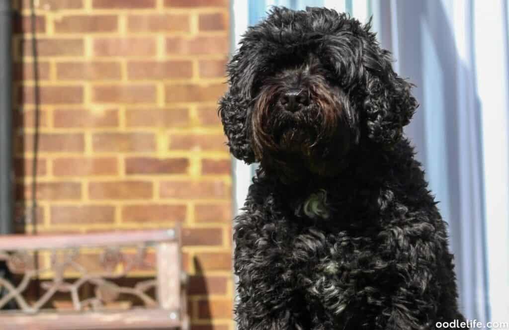 black cavapoo dog