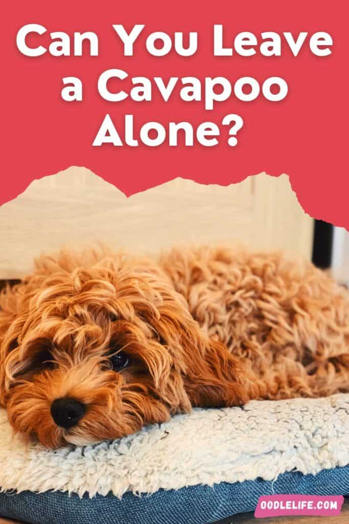 can you leave a cavapoo alone this puppy is sad