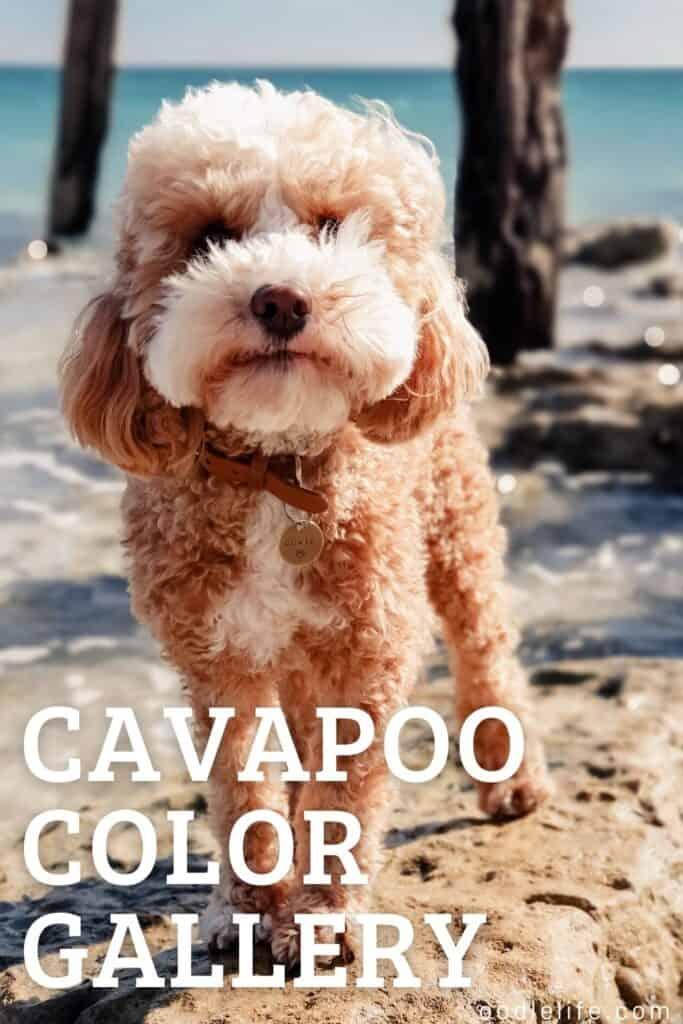 cavapoo color gallery