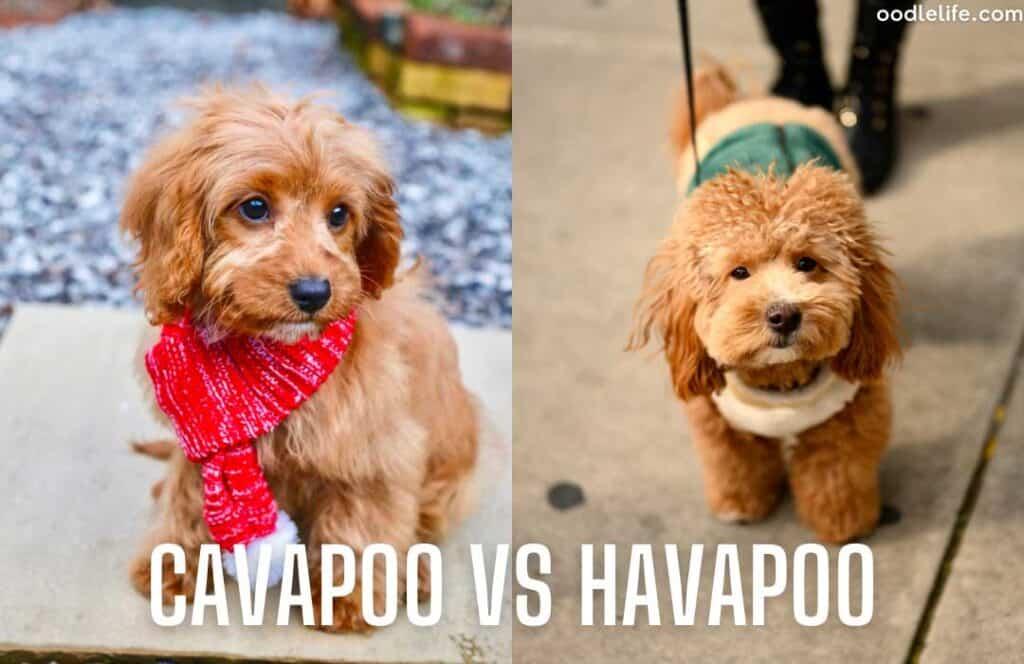 cavapoo puppy vs havapoo puppy