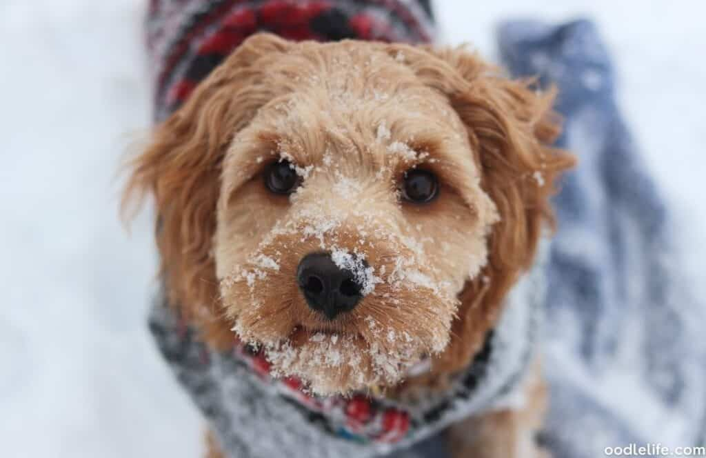 cavapoo in the snow on nose