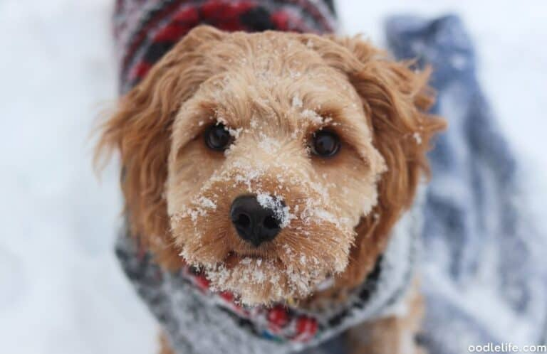 Do Cavapoos Like Snow? Cold Weather Guide