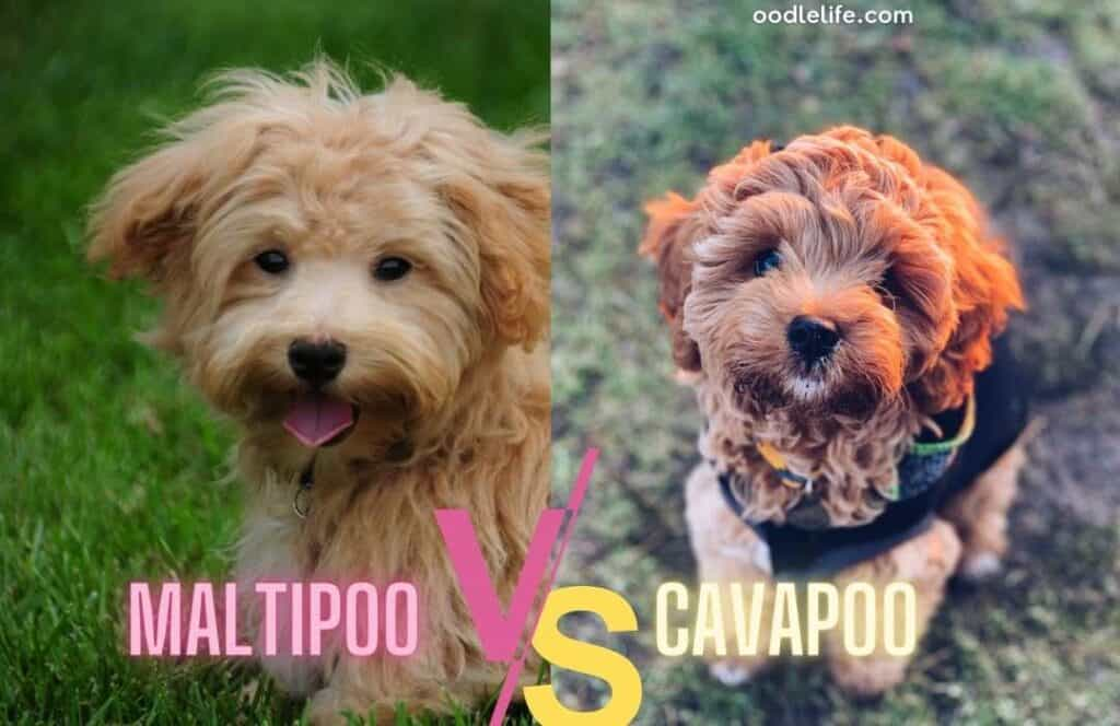 cavapoo and maltipoo side by side