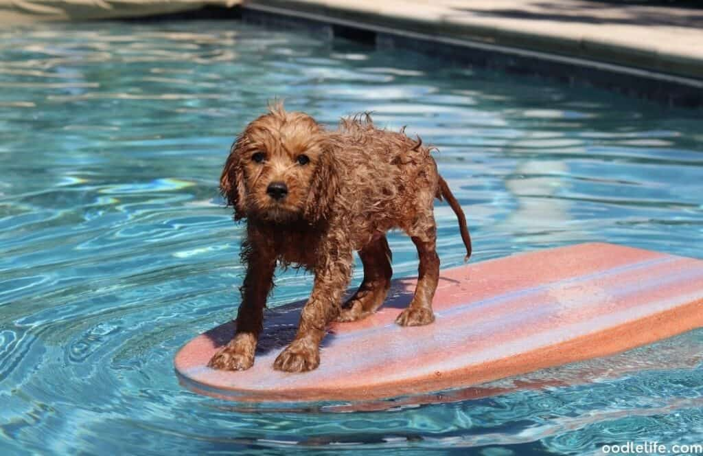 cavapoo puppy in the swimming pool