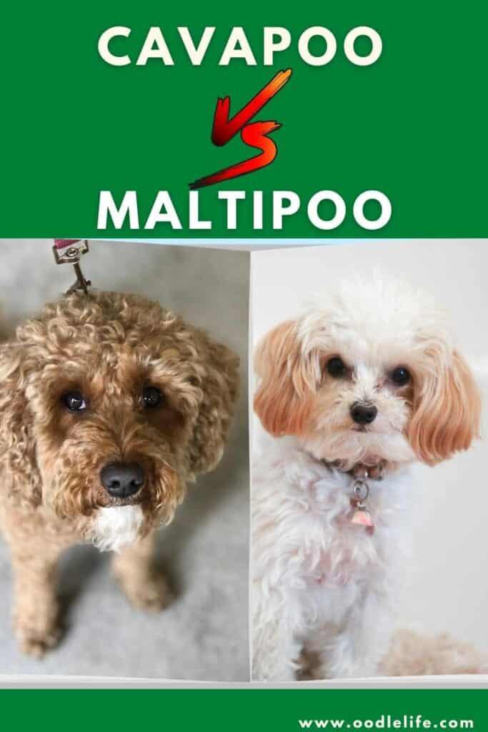 cavapoo vs maltipoo comparison