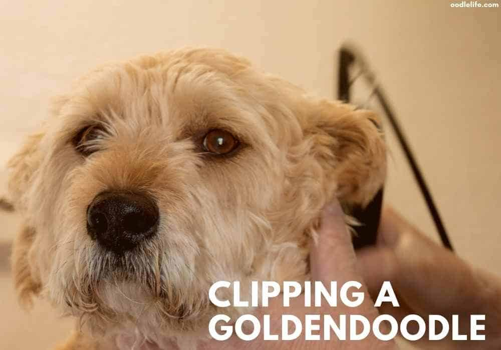 a goldendoodle has a haircut