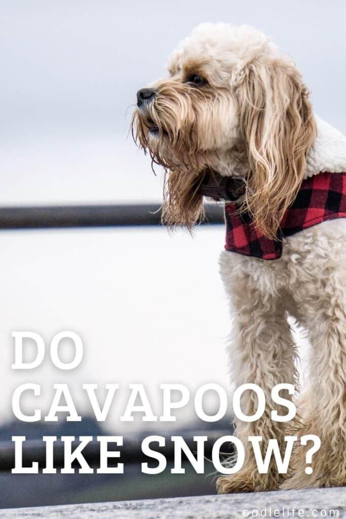 do cavapoos like snow