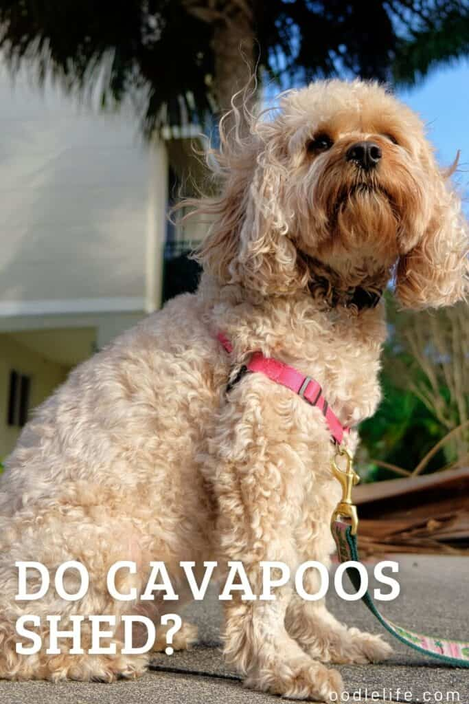do cavapoos shed a non shed cavapoo looks off camera