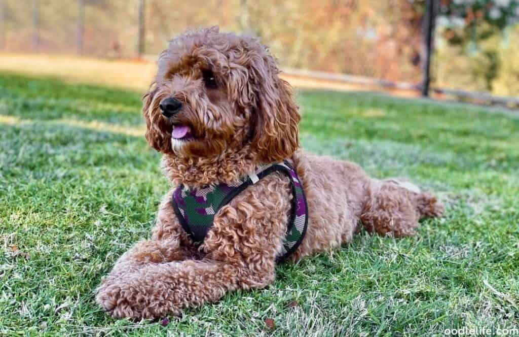 f1b cavapoo wavy coat sits on the grass