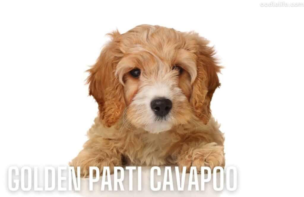 golden and white cavapoo coat