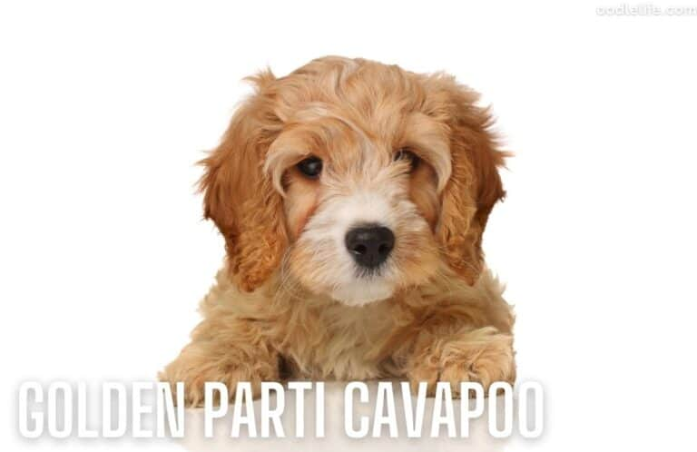 Cavapoo Pros and Cons [Ultimate List]