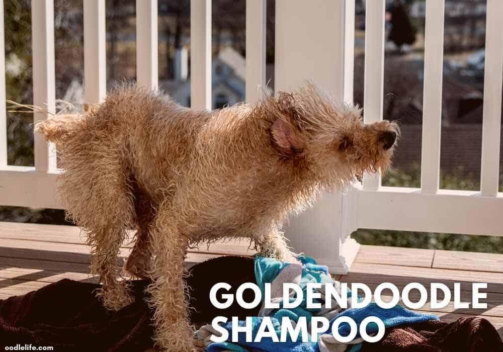 goldendoodle dog shaking off after a Shampoo