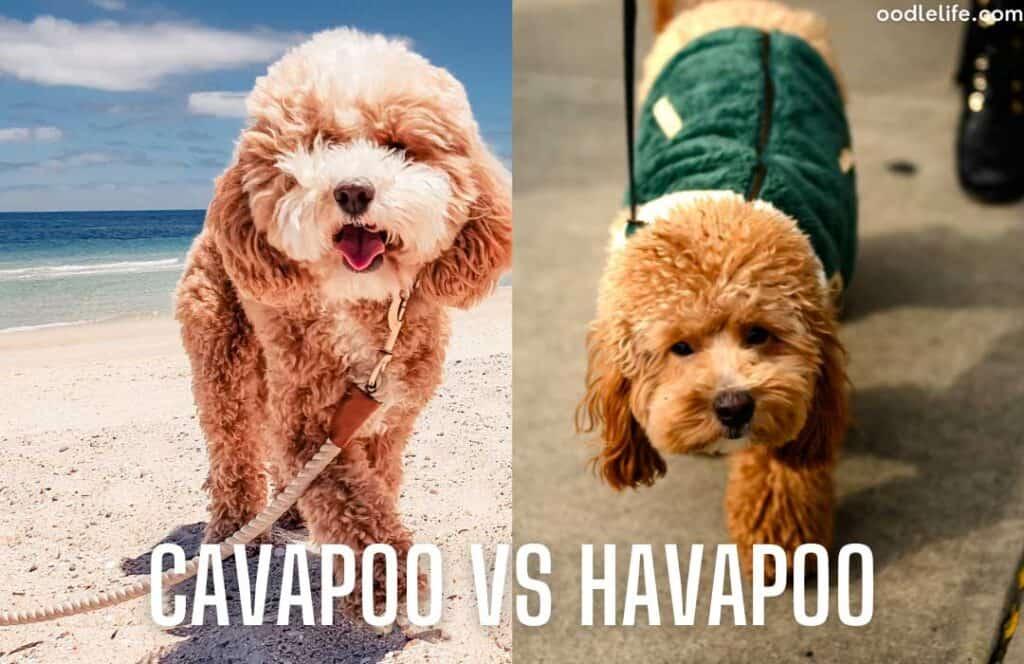 havapoo vs cavapoo appearance