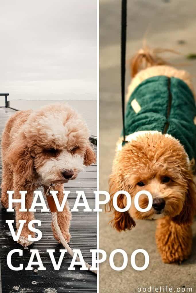 Havapoo vs cavapoo side by side