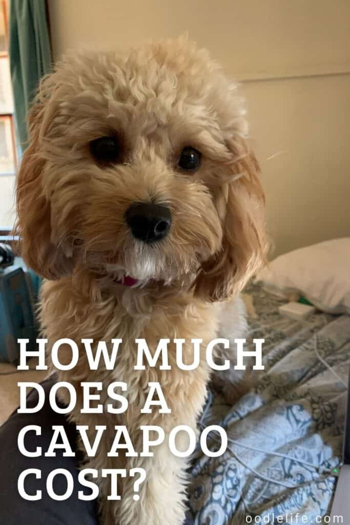 how much does a cavapoo cost Pinterest graphic