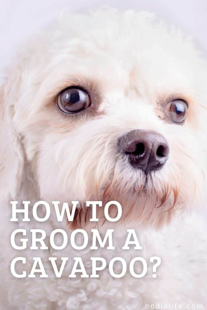 how to groom a cavapoo puppy pin