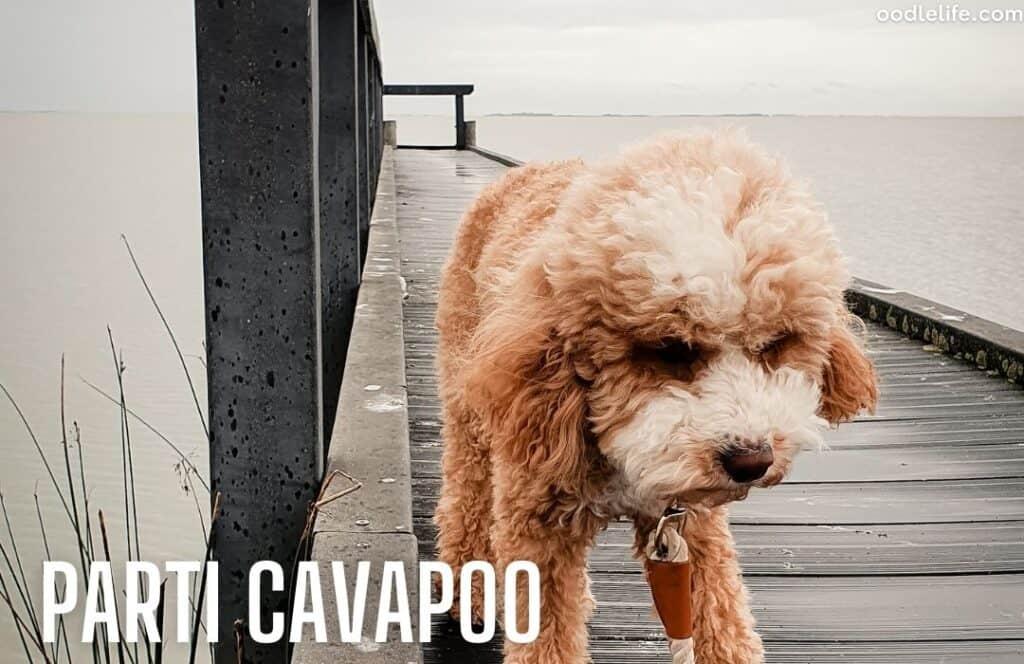 tricolour parti Cavapoo