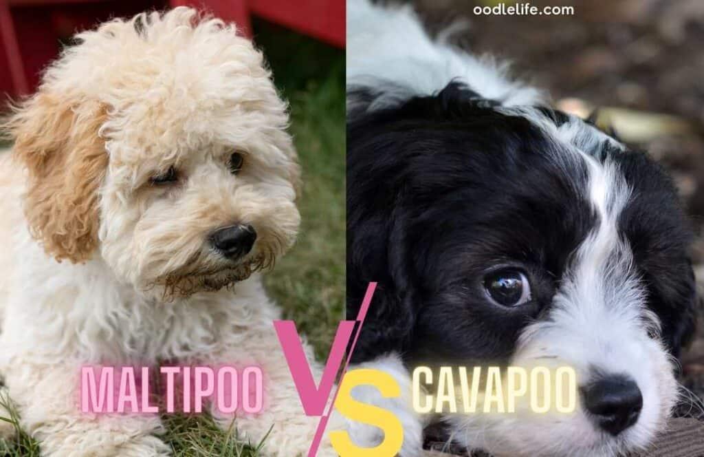 cavapoo and maltipoo puppy