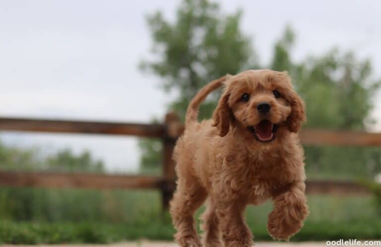 Bad Things About Cavapoos [Problems]