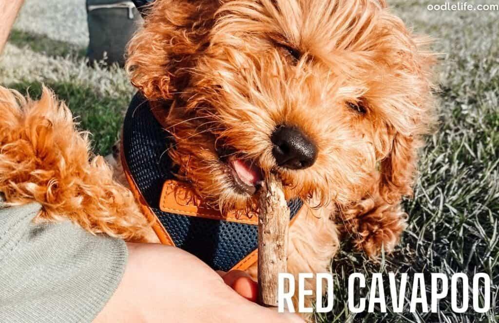 red cavapoo coat