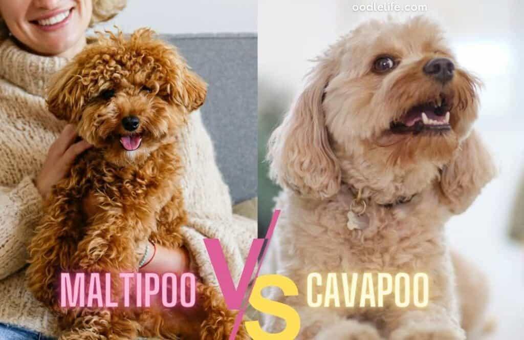 maltipoo and cream cavapoo